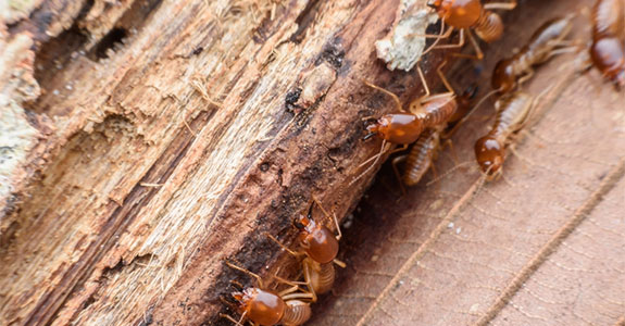Termites on some wood.